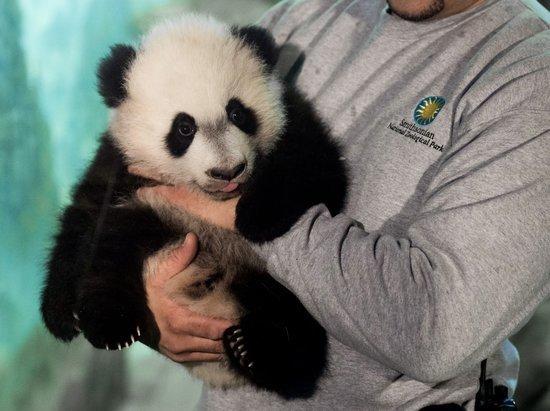 Big Boy Bei Bei Takes His First Panda Steps Outside
