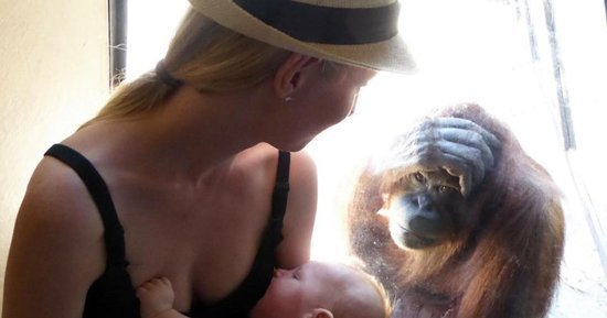 Orangutan Locks Eyes With Breastfeeding Mom In Moving Photo