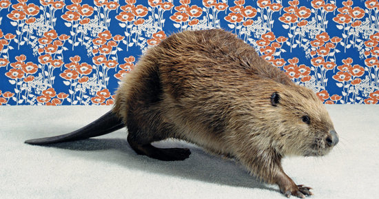 Is Beaver Butt Really Used To Flavor Your Dessert? Here's What You Should Know.