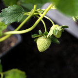 5 Essential Tips For Growing Strawberries
