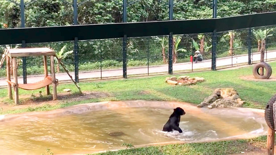 WATCH: Bear Rescued from Bile Farm Jumps for Joy After 7-Month Recovery