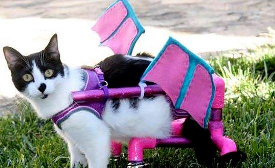 Ziggy the Three-Legged, Paralyzed Kitty Keeps Inspiring