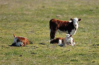 Pasture Raised Veal Gaining Popularity