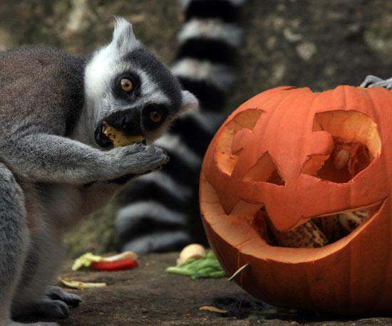 Lemurs and Monkeys and Meerkats Enjoy Halloween, Oh My!