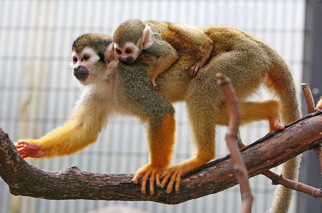 Baby Monkey In Tokyo