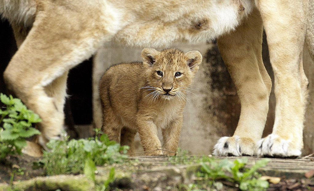 London Zoo Welcomes First Lion Cubs In 10 Years!