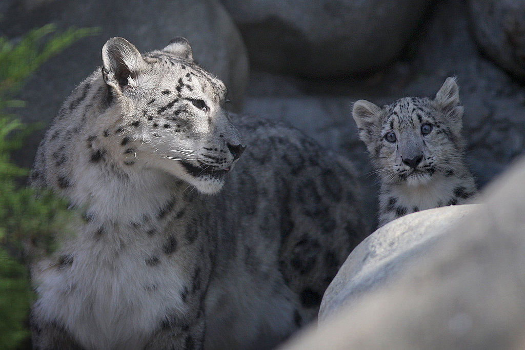 Snow Leopards Take Over LA