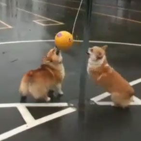 Corgis Playing Tetherball