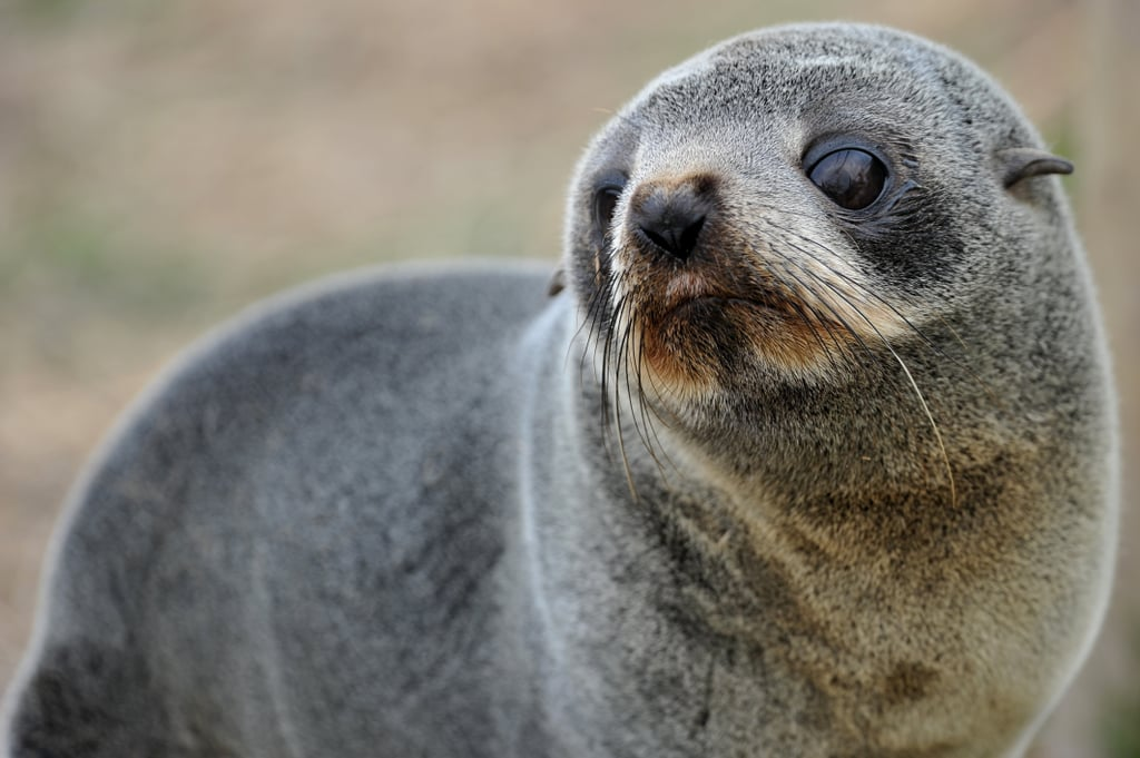There are eight different species of fur seals found in the world's oceans.