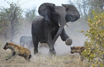 Elephant Mom Rescues Baby from Hyenas (PHOTOS)