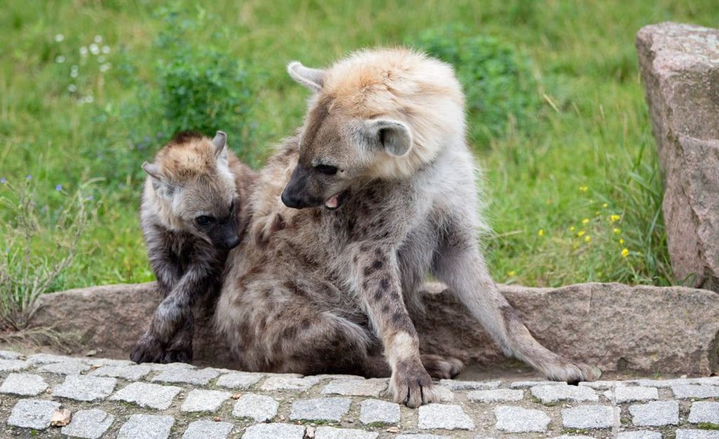 Being nibbled on by your babe is no laughing matter for this hyena mother and her young one.