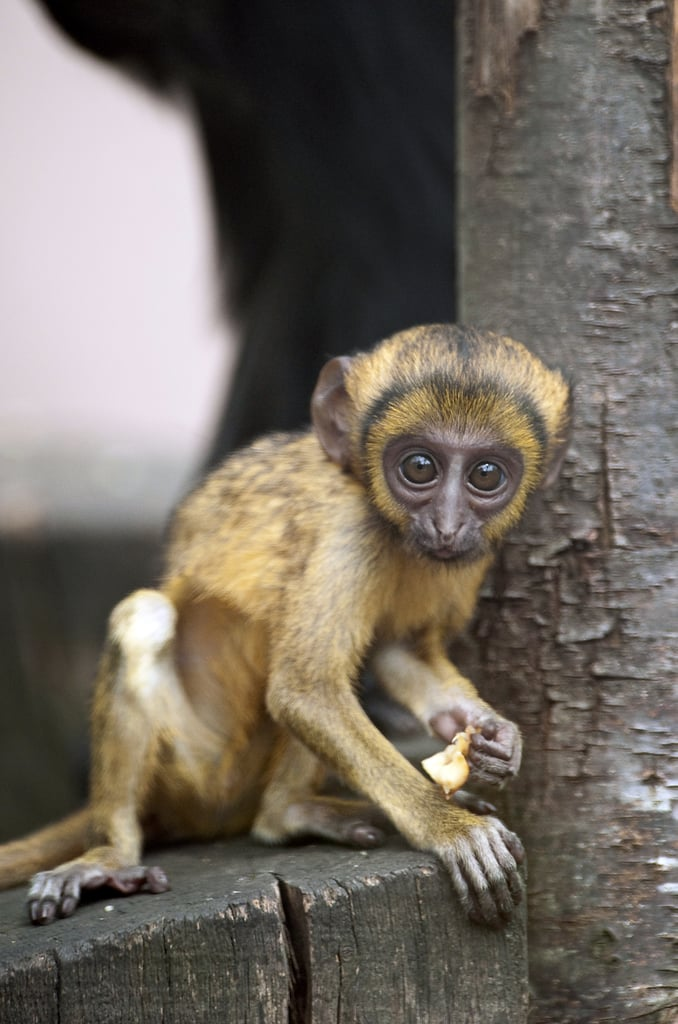 Lisimba, a 2-month-old Hamlyn's monkey, grabs a perch and a fruity snack.