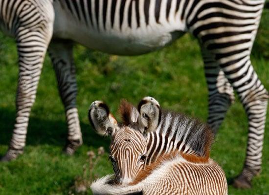 Florence, an Endangered Grevy's Zebra, Is Born in Scotland's Edinburgh Zoo