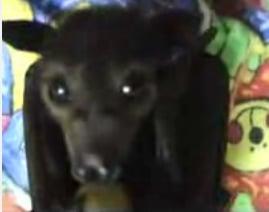 Baby Fruit Bat Feeds on Fruit