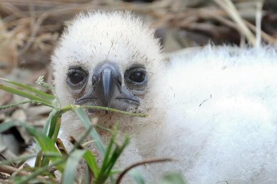 Hi, Chickee: Peep a Teensy Harpy Eagle Babe