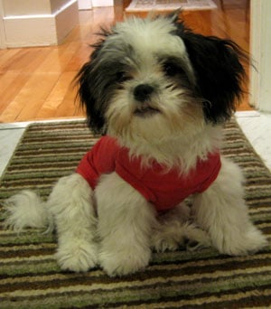 What Do You Know About Shih Tzus?