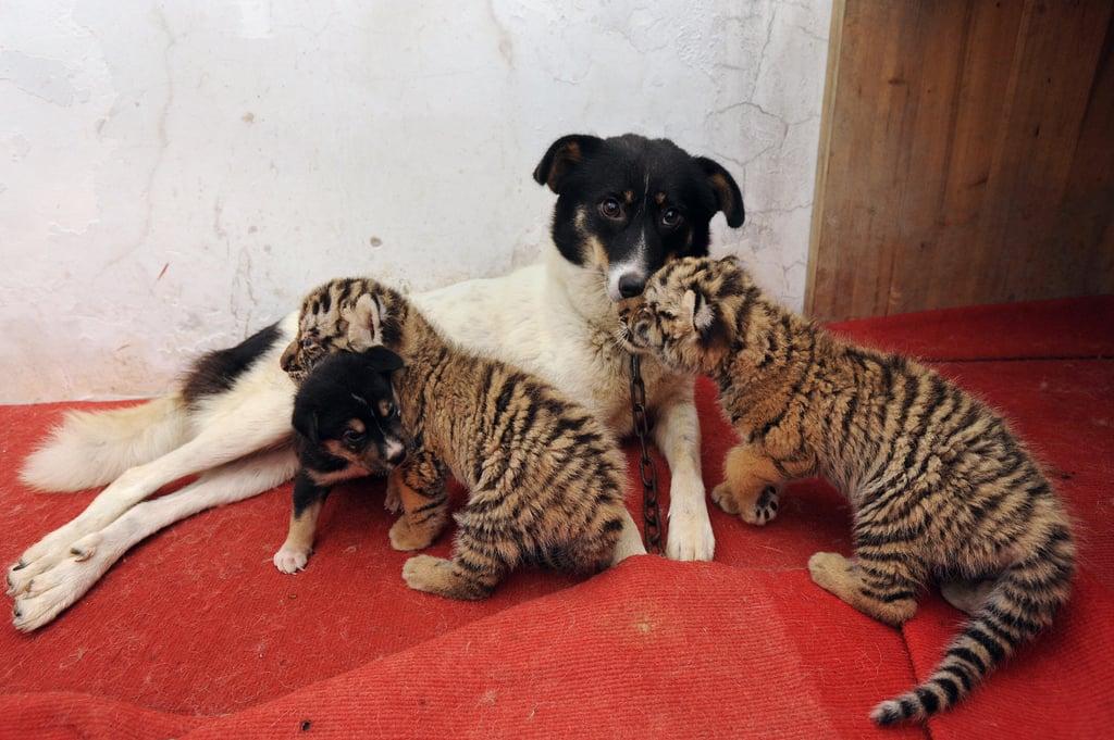 Photos of Doggie Nursing Cubs