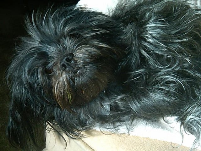 This little affenpinscher looks like he's had a long day. Source: Flickr user dmjarvey