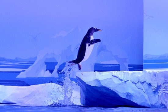 This gentoo penguin takes a break from the water at the Sea Life London Aquarium.