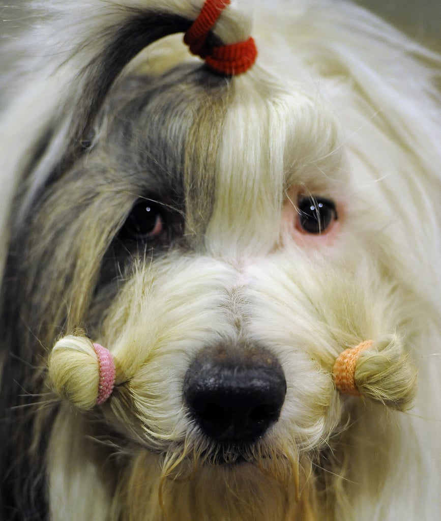 A Bearded Collie waits patiently during a grooming session.