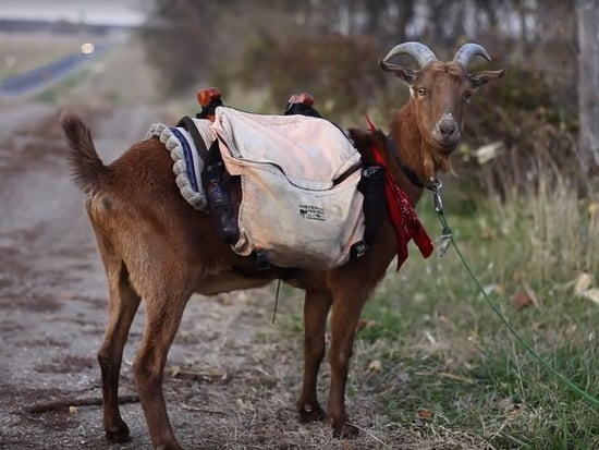 Hoofing It! Man Walking from Seattle to New York with Pet Goat for Charity