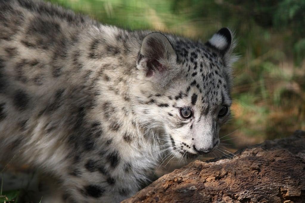 Snow Leopards Take Over LA