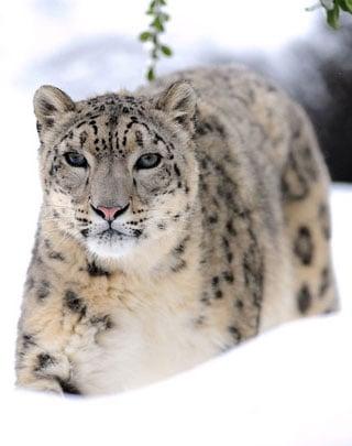 Creature Features: Snow Leopards