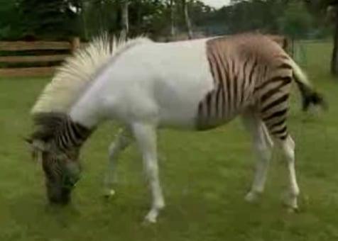 Zebra + Horse = Zorse