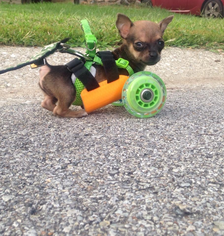 But thanks to his 3D-printed cart (and that look of fierce determination in his eyes), nothing can stop TurboRoo.  Source: Facebook user The Downtown Veterinarian