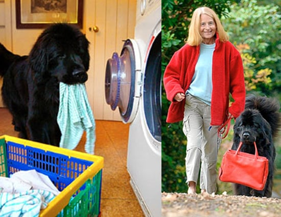 Newfie Helps Owner With Daily Chores
