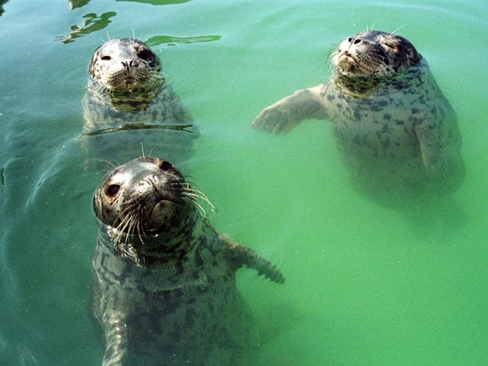 Here are some seal pups catching air at the Vancouver Aquarium Marine Center's Marine Mammal Rescue site.