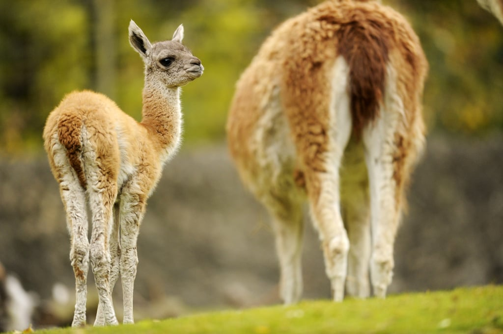 The one-l lama, he's a priest. The two-l llama, he's a beast. But I would bet you didn't know that his true name is the guanaco!
