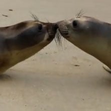 Kissing Seals Video