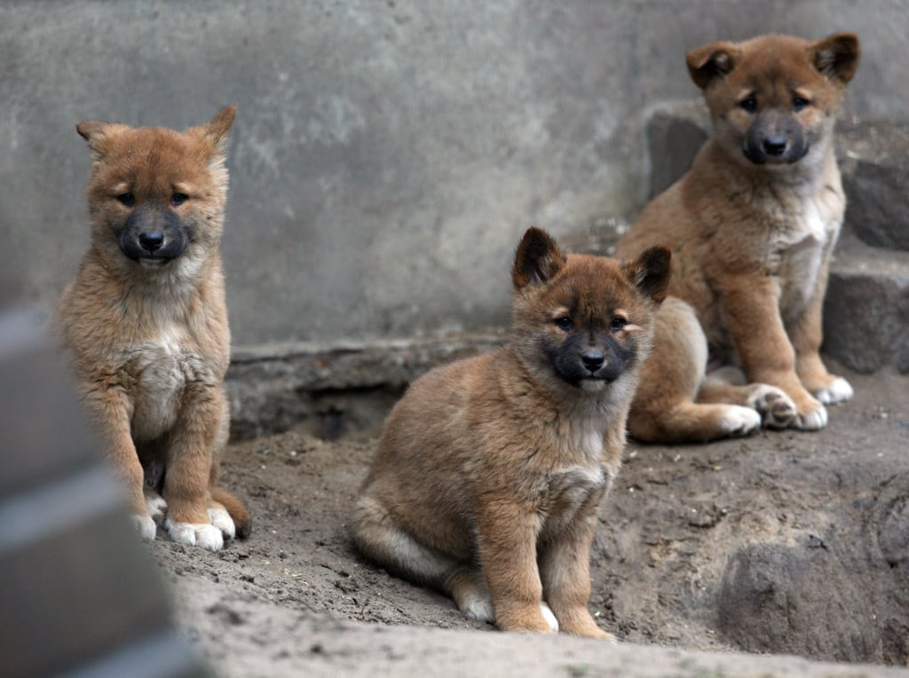 Native to Australia, dingoes are wild dogs most closely related to the Asian gray wolf.