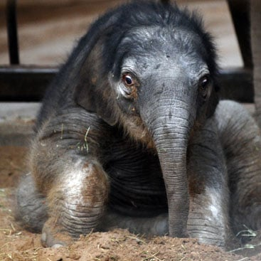 Pictures of Baby Asian Elephant