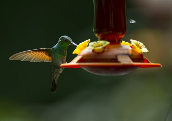 The world's smallest living bird, a bee hummingbird reaches only six centimeters in length.