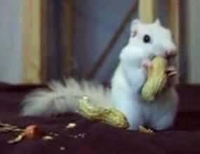 Albino Squirrel Nibbles on Peanuts