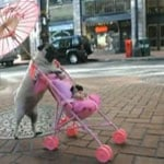 Super-Cute Video: Real Pug Pushes Toy Pugs in Stroller!