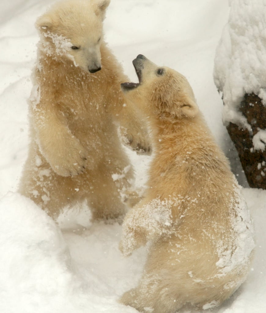 Two polar bears played together at the Leningrad Zoo in St. Petersburg, Russia.