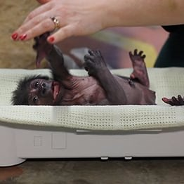 Gorilla Born by C-Section at England Zoo