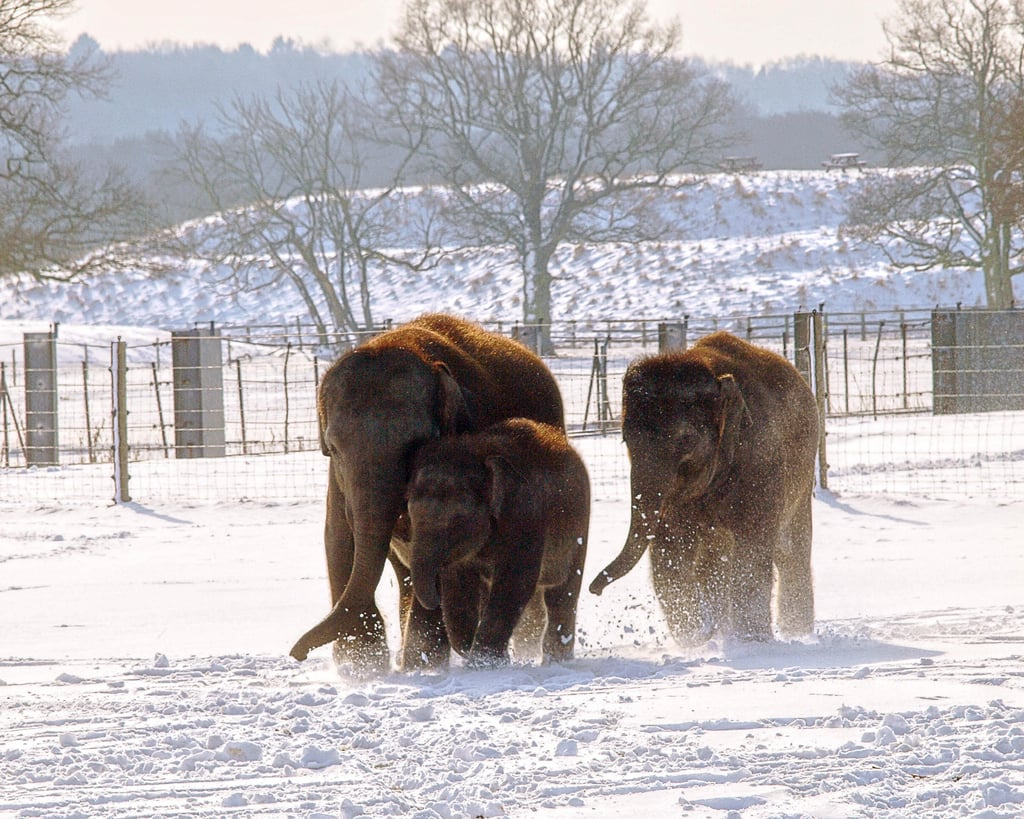 A family of elephants trekked through the cold after the heaviest snowfall in the area in 20 years at the ZSL Whipsnade Zoo in the UK.