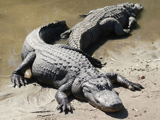Alligator or Crocodile