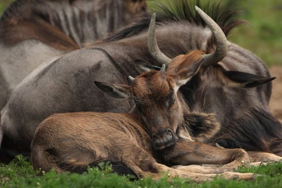 """The wildebeest got its name from the Afrikaans term for """"wild beast,"""" thanks to the animal's sharp horns and fierce, shaggy mane. In reality, though, this leggy creature finds itself a frequent meal for savannah-based predators!"""