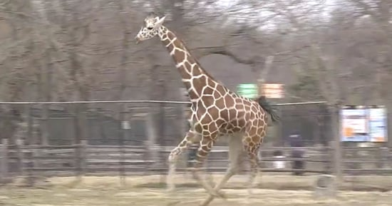 This Giraffe Is REALLY Excited About Spring