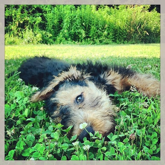 Pet of the Week: Airedale Terrier Pup