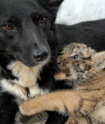 Dog Nurses Lions and Tigers