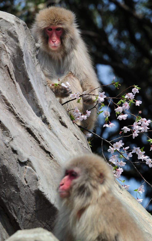 Springtime With the Macaque Family