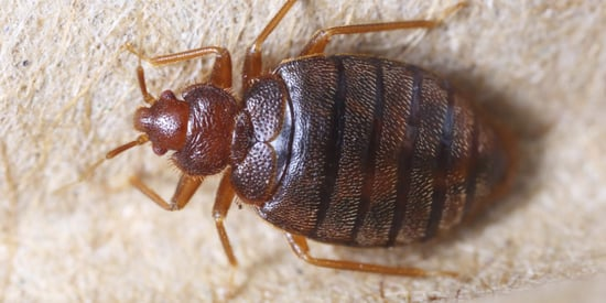 The Color Of Your Sheets May Attract Bedbugs Because Life Isn't Fair