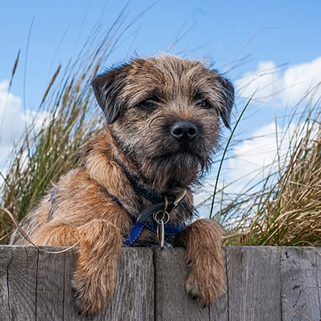 Get to Know the Border Terrier: A Breed That's Borderline Perfect!