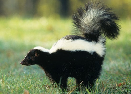 To the Rescue: Sprayed by Skunks!